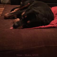 Titan (BigBarker) Tags: 2 rottweiler blanket