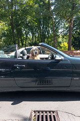 Golden Retriever als Beifahrer im Cabrio (marcoverch) Tags: köln nordrheinwestfalen deutschland de golden retriever beifahrer cabrio car auto vehicle fahrzeug transportationsystem transportsystem road strase police polizei outdoors drausen dragrace ziehenrennen accident unfall street noperson keineperson travel reise offense angriff traffic derverkehr asphalt battle schlacht wheel rad drive fahrt classic klassisch light licht old alt olympus eos analog noiretblanc animals photoshop la pet pumpkin rural