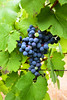_DSC7092 (RLaballe) Tags: grapes vines whine