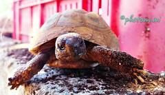 ~tartaruga~ (pryrkjyr60) Tags: tartaruga tartle natura natur animal animali rettili tartarughediterra