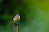Redstart in the rain (chrisb.foto) Tags: redstart rain regen dof gartenrotschwanz rotschwanz bird vogel bokeh nature natur rainy germany ldk hessen lahndillkreis lahndill wildlife