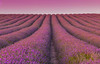 Lavender Field, Lavender Sky. (haydnclarke) Tags: cadwell farm ickleford hitchen lavender fields