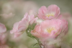 Rose Garden (lfeng1014) Tags: rosegarden rose garden macro macrophotography multipleexposure dof depthoffield closeup bokeh dreamy soft canon5dmarkiii 70200mmf28lisii gairlochgardens oakvilleontario lifeng