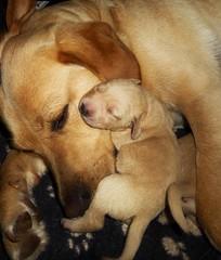 Puppy Cuddles..x (Lisa@Lethen) Tags: puppy cuddle mummy sunshine sunny dog labrador bitch breeding