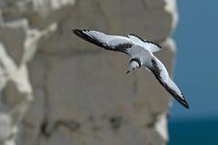 Kittiwake Juv. (Artisanart) Tags: kittiwake sea bird nature wildlife seaford head coast cliffs chalk downland east sussex flight juvenile