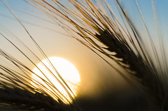 Barley in the Sunset (Theo Crazzolara) Tags: barley nutrition triticeae gerste getreide cereal grain sun sunset sonne sonnenuntergang field summer autumn hordeum vulgare