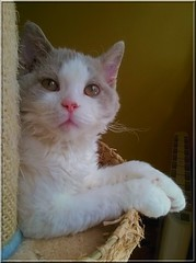 Hello ^^ (Antiphane) Tags: chat cat chaton kitten selkirk rex ept animal de compagnie