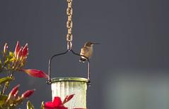 Aloof (marylea) Tags: hummingbird aug13 2017 feeders hummingbirdfeeders mandivilla madevilla red flowers plant