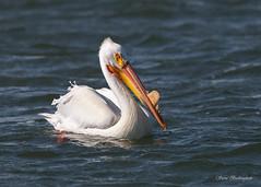 White Pelican (sbuckinghamnj) Tags: pelican whitepelican bird nebraska calamusreservoir