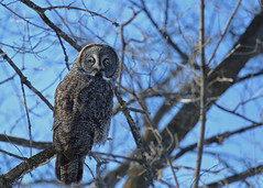 Great Gray Owl...#1 (frosty) (Explore on Aug 11, 2017) (Guy Lichter Photography - 3.5M views Thank you) Tags: canon 5d3 canada manitoba wildlife animals bird birds owls greatgrayowl explore