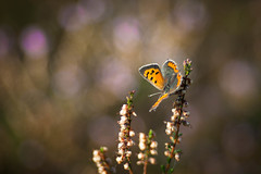 Mr. Sunshine (ursulamller900) Tags: kleinerfeuerfalter lycaenaphlaeas pentacon28100 extensiontube 20mm makroring macro butterfly schmetterling heide heather