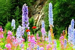 Summertime flowers in Alaska (Karlov1) Tags: flowers alaska