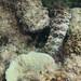 Salarias fasciatus Banded blenny