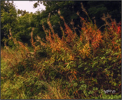 Autumn's Coming. (Picture post.) Tags: nature green autumn willowherb hedgerow seeds