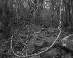 Hook (GrisFroid) Tags: landscape creek bush trees film blackandwhite monochrome 4x5 chamonix 45n2 nikkor 90mm f45 delta 100