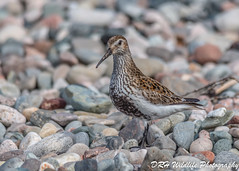 Watching (davidrhall1234) Tags: dunlincalidrisalpina dunlin wader wildlife world birds bird birdsofbritain beak coastal coast countryside scotland shore shoreline sea feather nature nikon