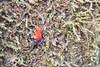 Dart Frog on Lichen (PLawston) Tags: costa rica la selva biological reserve research station sarapiuí jungle rainforest blue jeans poison dart frog strawberry lichen moss