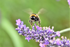 A real buzz. (pstone646) Tags: bee flight flying insect nature wildlife animal flower plant lavender fauna flora ashford kent bokeh