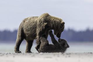 Brown Bear play