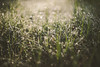 Morning dew at its finest (Daniel A Ruiz) Tags: green grass morningdew drops water sunrise photowalking nikkors35mm28 nikon df bokeh