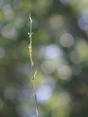 Tiny Fern Leaf Bamboo (bamboosage) Tags: supermulticoated takumar 135 25 m42 2nd version