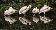 Pelecanus onocrotalus (++sepp++) Tags: augsburg bayern deutschland de zoo zootiere animal tierpark tieraufnahme tierfotografie germany bavaria pelikan pelican spiegelung reflection mirroring