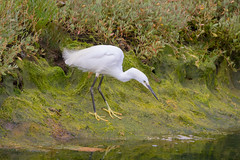Little Egret (Andy Stuthridge Nature Images) Tags: her great capture andy another