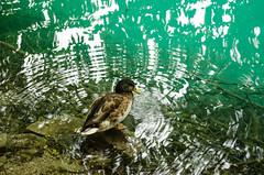 Plitvice (rmstark3) Tags: water bird duck plitvice national park croatia animal