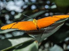 Insel Mainau (schasa68) Tags: schmetterling butterfly schmetterlingshaus farbenpracht mainau bodensee natur deutschland germany nature macro makro