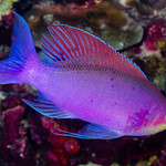 Purple Anthias, male - Pseudanthias tuka thumbnail