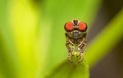 I see you (Saul G.) Tags: macro macrolife macrophotography macroworld vivitar 105mm kiron nikon d7200 outdoor dof insect nature