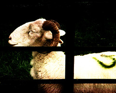 ram (over post-processed) (pho-Tony) Tags: baldessaf balda baldabaldessaf prontor 125 prontor125 isconar 128 f28 45mm 35mm film isco colorisconar baldessa german germany 1960s agfa vista poundland rollei digibase c41 exhaused failure underdeveloped exhausedchemicals