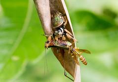 Jumping Spider, Salticidae sp. (erdogan_) Tags: insect amazon macro closeup canon 100mm nature cloudforest rainforest ecuador