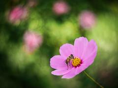 Stop by for a snack (Karsten Gieselmann) Tags: 40150mmf28 blumen blüten bokeh cosmea dof em5markii grün insekten mzuiko microfourthirds natur olympus pflanzen rosa schmuckkörbchen schärfentiefe swirl3 textur blossom cosmos cosmosbipinnatus flower green kgiesel m43 mft nature pink texture