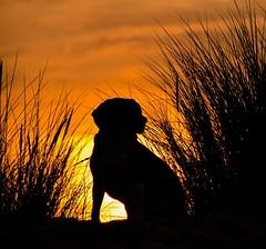 coucher de soleil berck (Guillaume7762) Tags: beagle silhouette coucher soleil sunset sun berck chien dog oyat orange ciel
