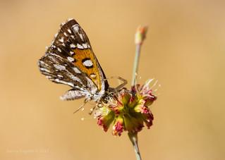 Mormon metalmark butterfly (apodemia mormo)