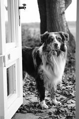 Jamie (unbunt.me) Tags: xpro2 acros aussie blackandwhite hund australianshepherd sooc blackwhite bw dog fujixpro2 fuji fujifilm