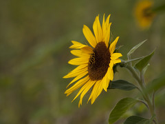Encore un peu de soleil ** (Titole) Tags: tournesol sunflower titole nicolefaton yellow shallowdof thechallengefactory