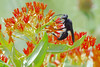 Great Black Wasp (mnolen2) Tags: wasp butterflyweed