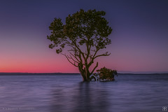 The Tide Is High (Rob Reaburn Photography) Tags: nightfall inundated mangrove sunset twilight westernportbay victoria australia avicenniamarina bay ocean tide hightide