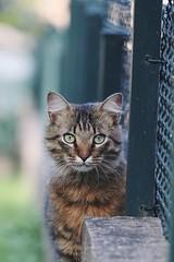 Tirer le portrait (N'Grid) Tags: bokeh 150600 sigma 80d canon portrait pet animal kitten kitty cat chips chaton chat