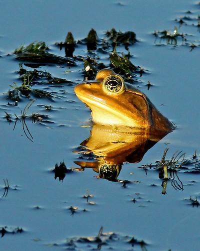 Pig Frog (Lithobates grylio)