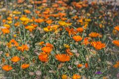 💐💐💐 (Charo R.) Tags: flores flowers naranja orange naturaleza aire libre