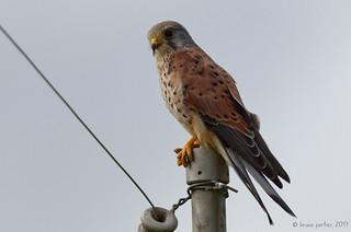 Kestrel, Faucon crécerelle, Torenvalk (Falco tinnunculus) - Clermont, BELGIUM