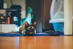 是誰在那裡?|大ㄟ (里卡豆) Tags: olympus penf panasonic leica dg 425mm f12 panasonicleicadg425mmf12 taiwan cat 貓 喵星人