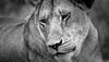 Mild at Heart (Beppe Rijs) Tags: africa afrika lã¶we portrait portrã¤t serengeti tansania tanzania lion fels löwe löwin lioness rock landschaft panorama clouds landscape light view nationalpark np park steppe wildlife animal bigcat tierwelt tiere grosskatze wildkatze bigfive raubtier raubkatze kopje chill ruhen entspannen wildcat reserve habit typical typisch rückzugsort reservat habitat lebensraum nature natur wildnis wild tier blackandwhite bw sw schwarzweiss schwarz weiss monochrome fineart photography wildlifeafrica