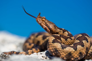 Adult male of Vipera ammodytes ammodytes
