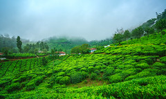 Tea plantations (Dhina A) Tags: sony a7rii ilce7rm2 a7r2 variotessar t fe 1635mm f4 za oss sonyfe1635mmf4 sel1635z tea plantation munnar kerala india green