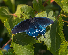 Pipevine Swallowtail (bbatley) Tags: parkerrivernationalwildliferefuge wildlife pipevineswallowtailbutterfly