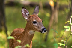 (Daniel000000) Tags: deer fawn schmeeckle wisconsin animals spotted light country park green summer september nikon